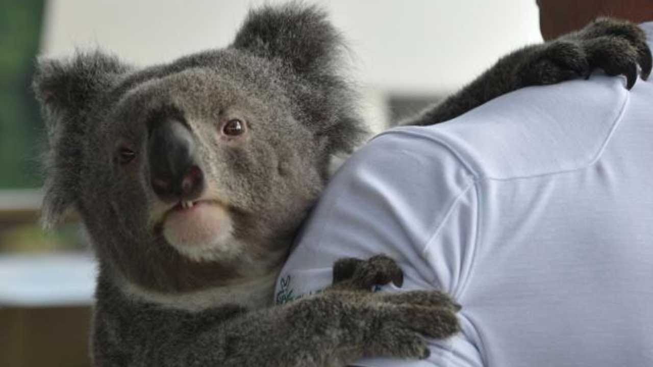 Koalas Are In 'Serious Trouble' Because Of Wild Dogs, Chlamydia