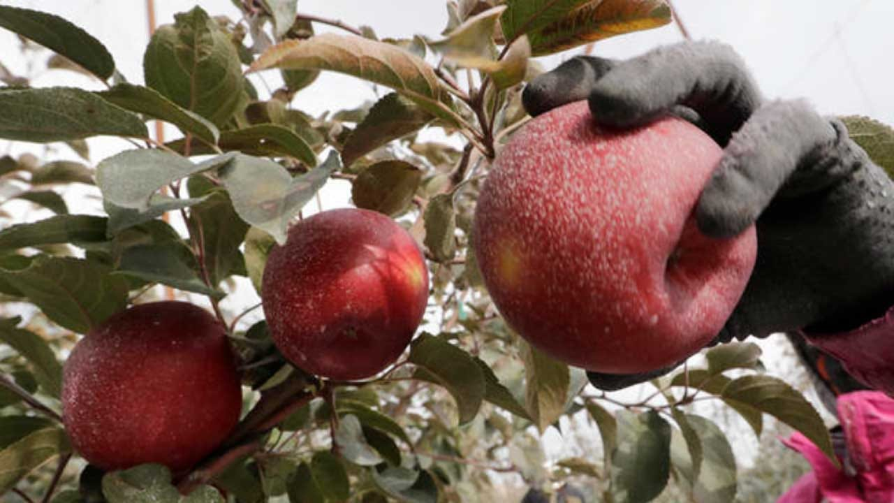 New Type Of Apple Is Nutritious, Lasts In Fridge For A Year