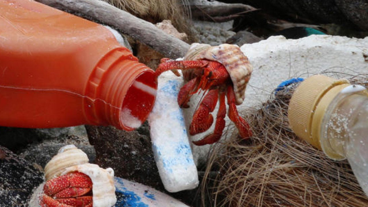Plastic Pollution Has Killed Half A Million Hermit Crabs That Confused Trash For Shells