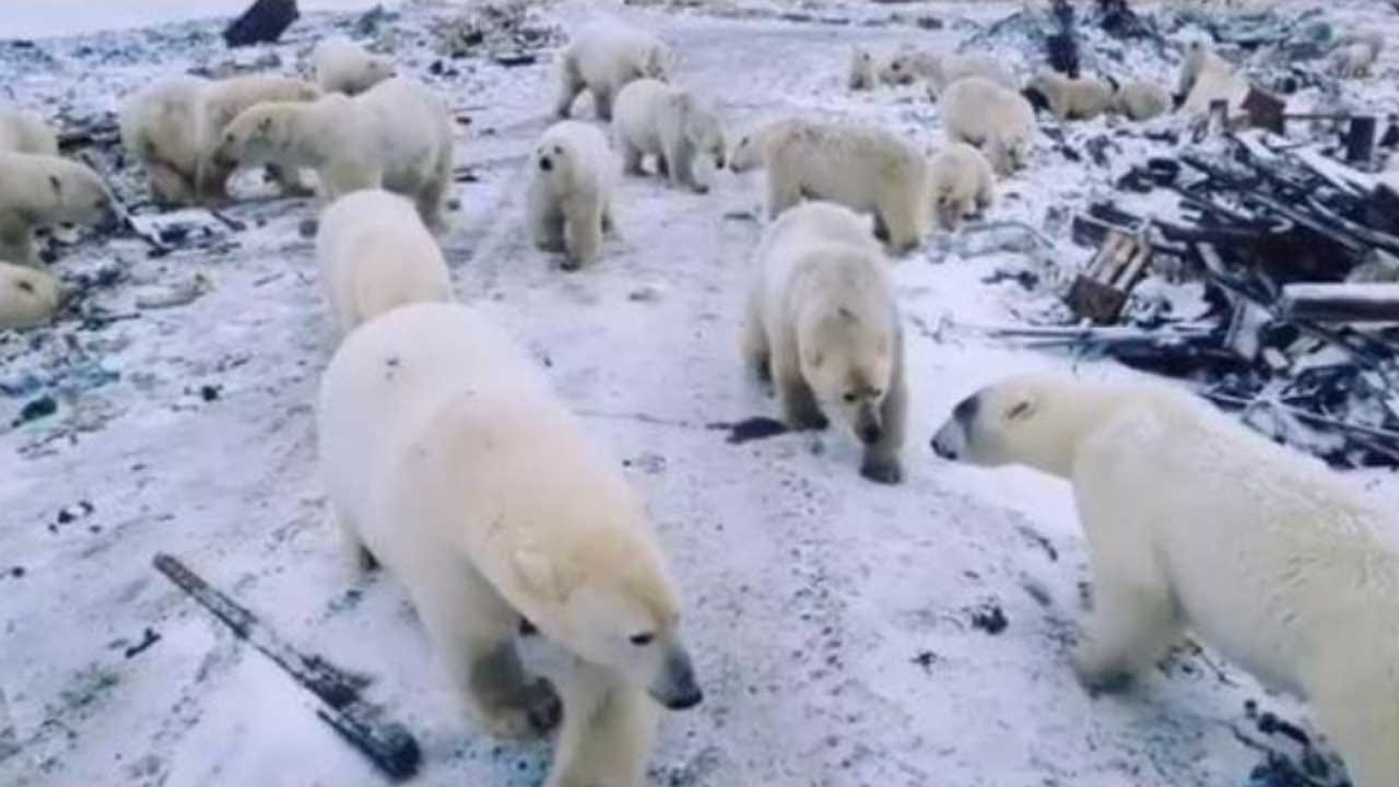 Russian Region Declares Emergency Over Polar Bear 'Invasion'