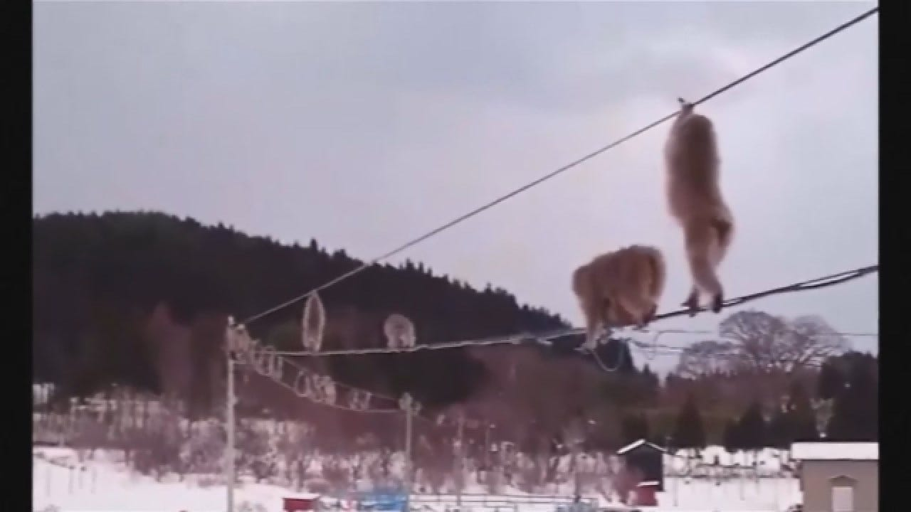 Going Viral: More Than A Dozen Monkeys Cross Utility Lines