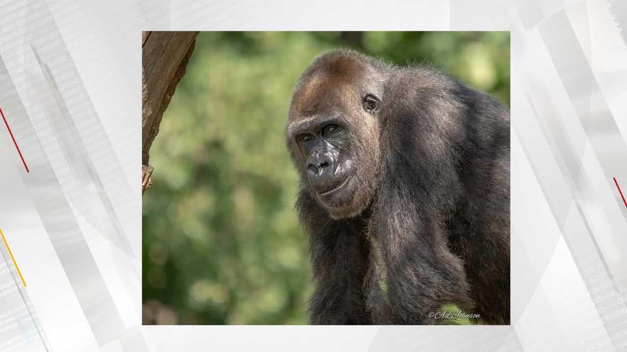OKC Zoo Announces Death Of Female Gorilla