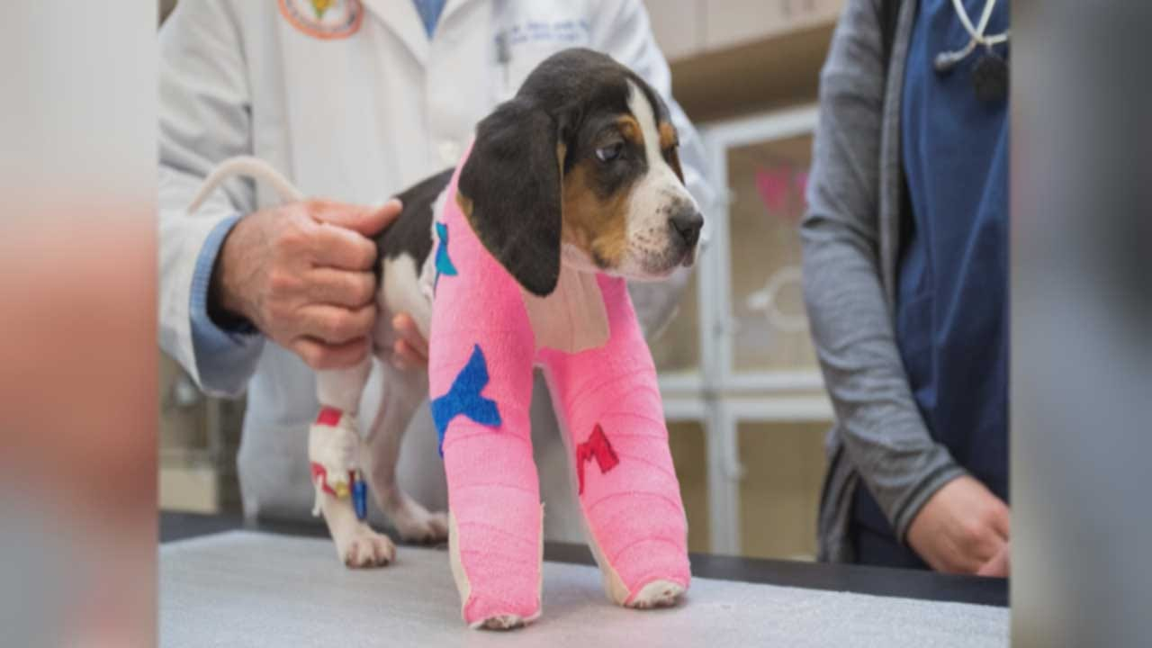 Puppy Born With Rare Condition Recovering After OSU Vet Performs Critical Surgery