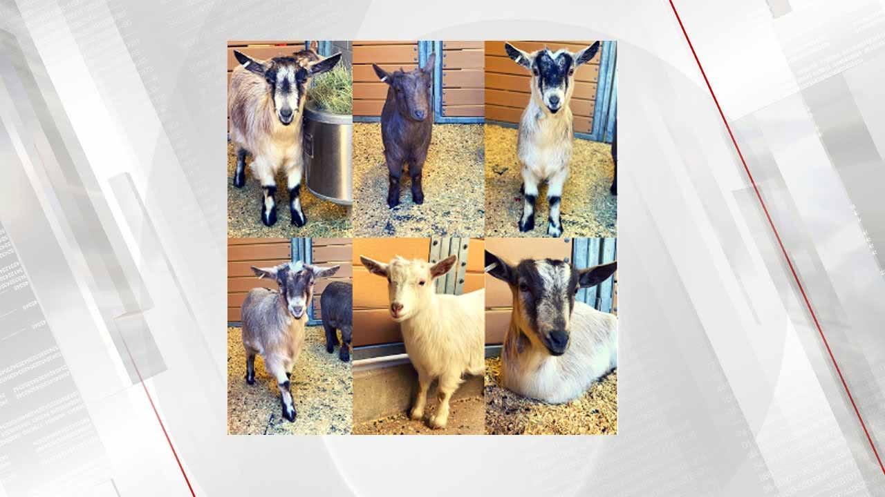 OKC Zoo Announces Names Of New Pygmy Goats