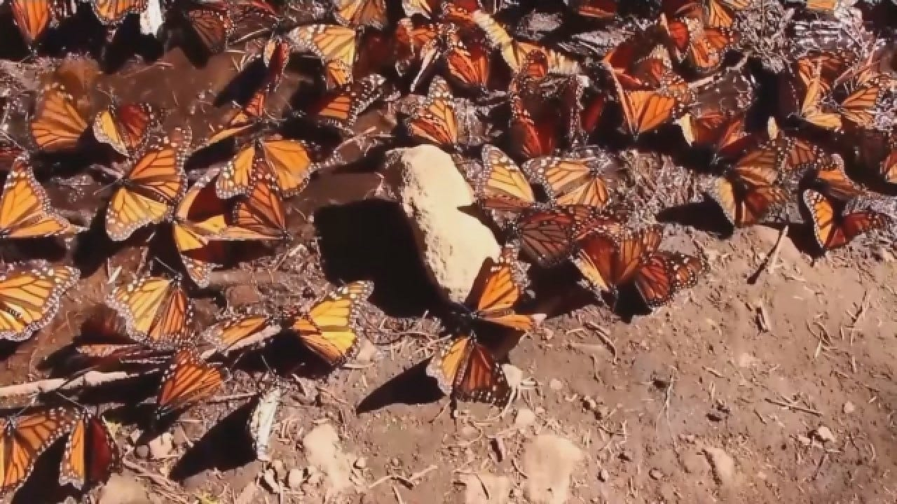 Population Of Monarch Butterflies Up 144% In Central Mexico
