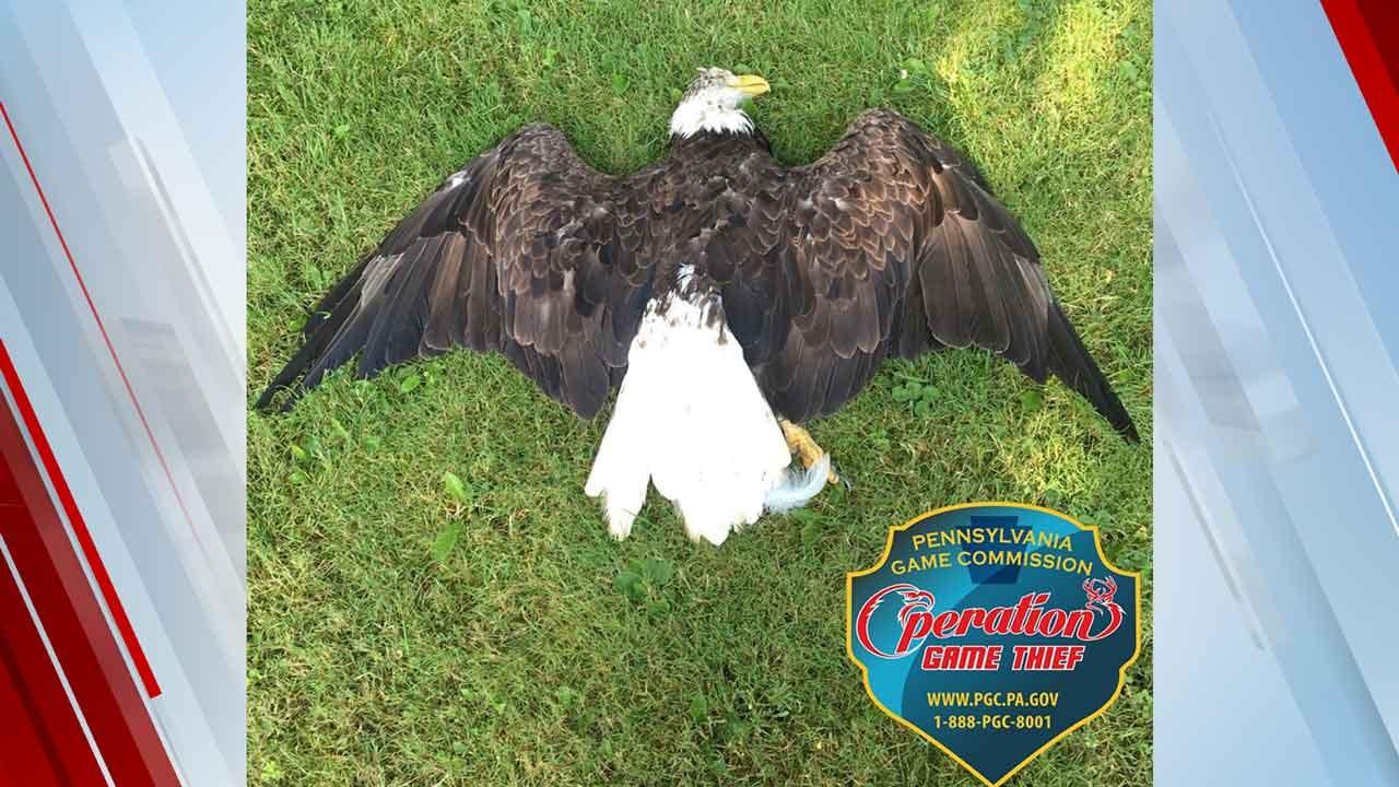 Bald Eagle Found Shot Dead In Pennsylvania