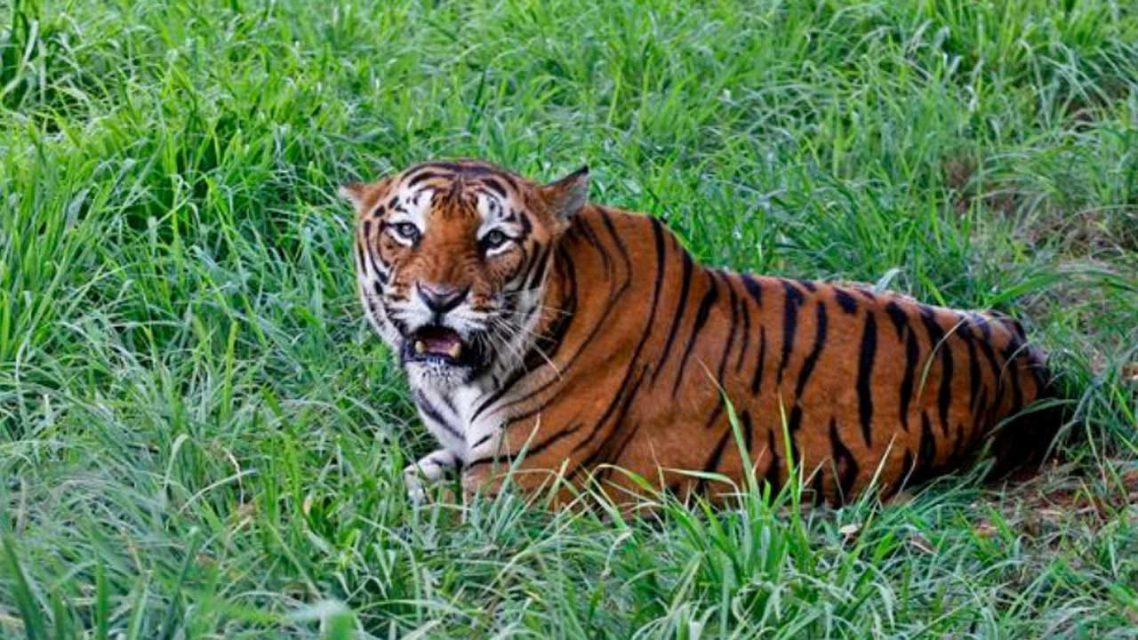 India's Wild Tiger Population Rises Despite Human Conflict