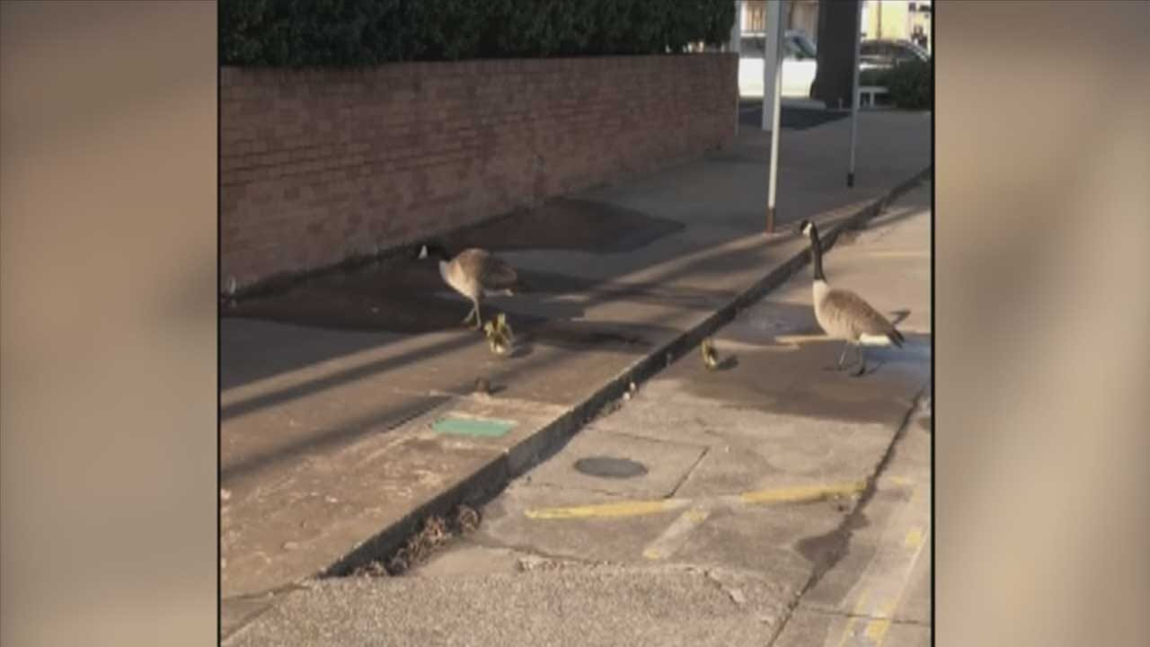 Canada Goose, Hatchlings Make The Moore Police Department Home