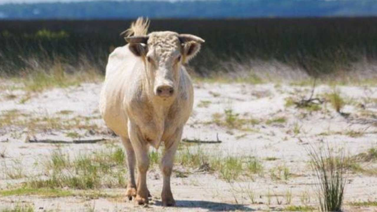 3 Cows Swept Out To Sea During Hurricane Dorian Found Alive