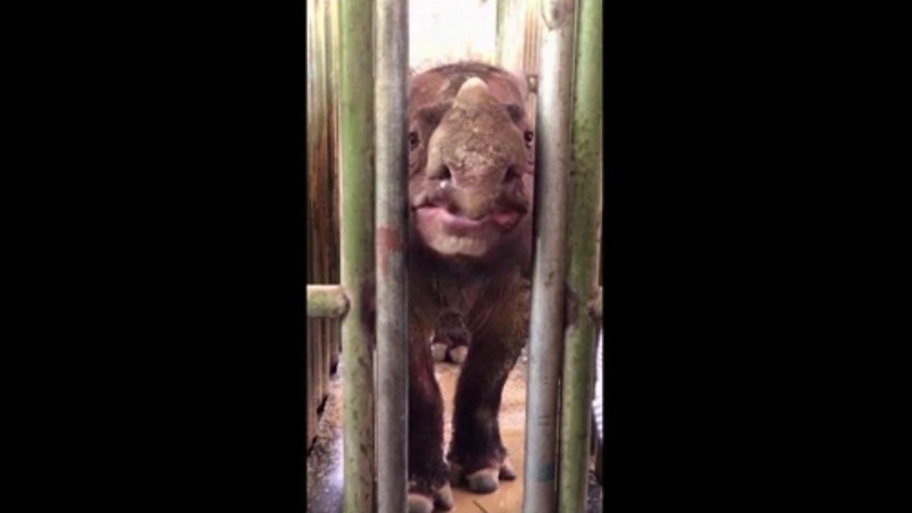 The Sumatran Rhino Is Now Extinct In Malaysia