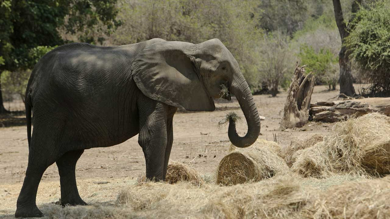 More Than 100 Elephants Die Amid Severe Drought In Zimbabwe