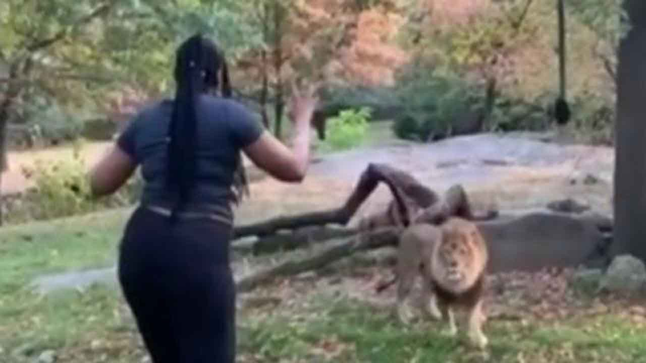 Woman Climbs Into Exhibit At Bronx Zoo, Appears To Taunt Lion