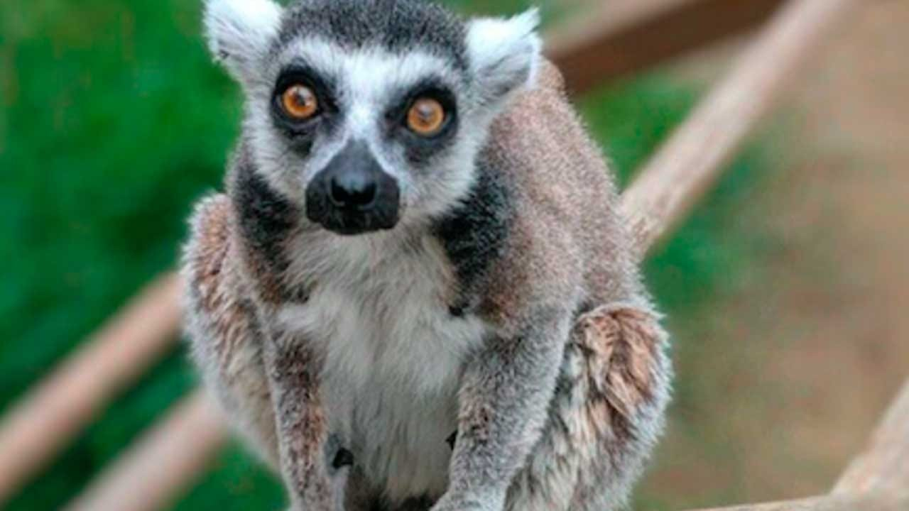 Teen Sentenced To 3 Months In Prison For Stealing Lemur From California Zoo