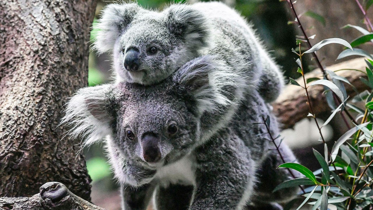 Koalas Are On Track To Go Extinct In A Part Of Australia Before 2050