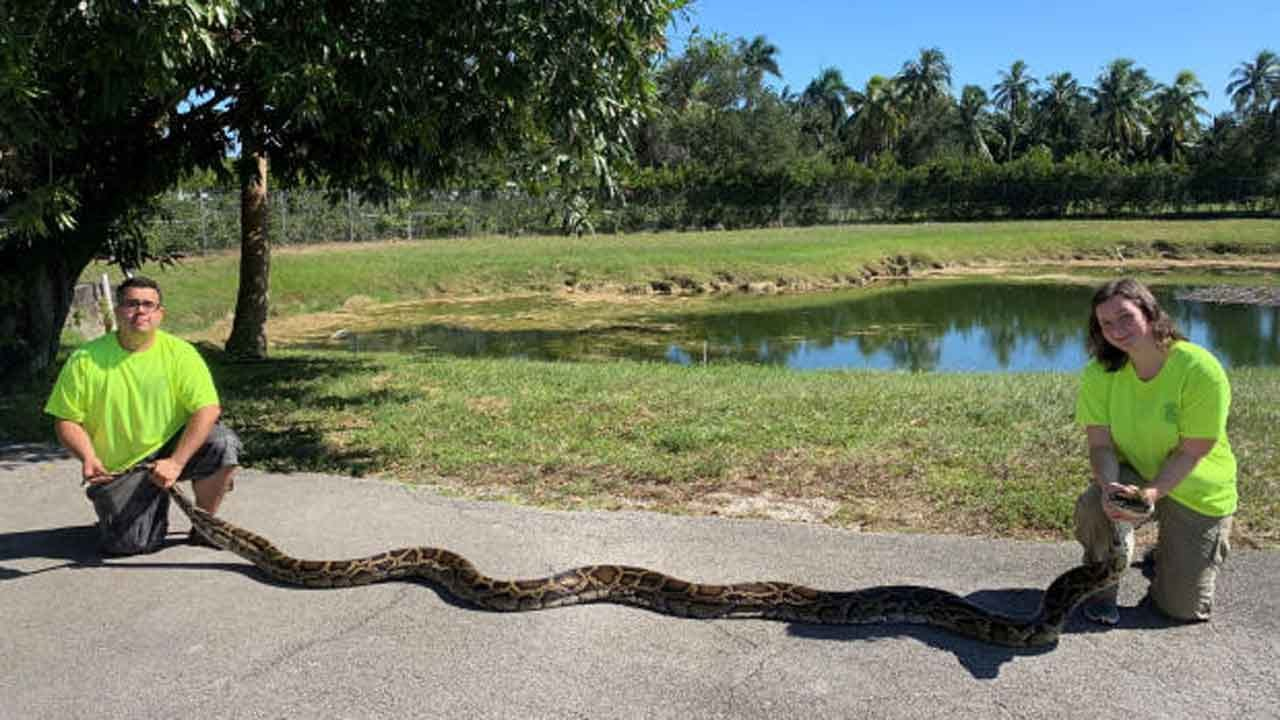 Record-Setting Python Caught In The Everglades