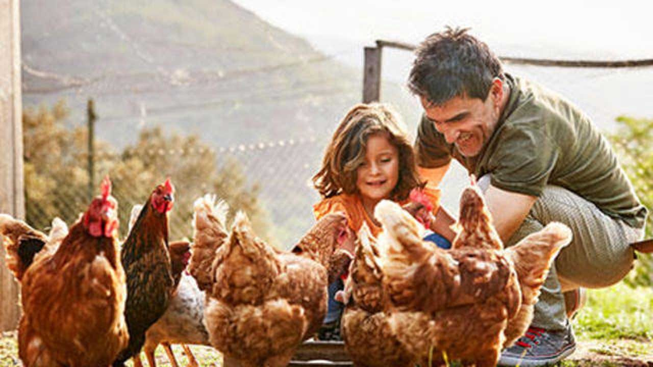 Salmonella Illnesses Tied To Backyard Poultry Flocks Surpass 1,000 Cases In 49 States