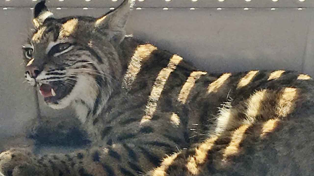 Colorado Driver Puts Injured Bobcat In Car Next To Child