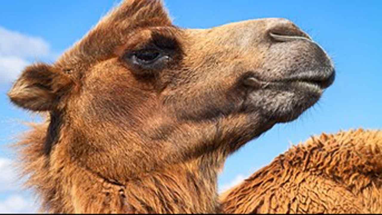 Truck Stop Camel Prescribed Antibiotics After Woman Bites It