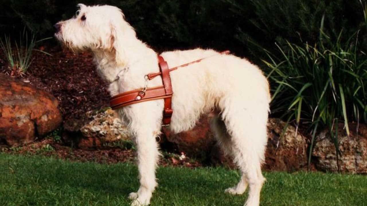 Labradoodle Creator Calls The Breed His 'Life's Regret'