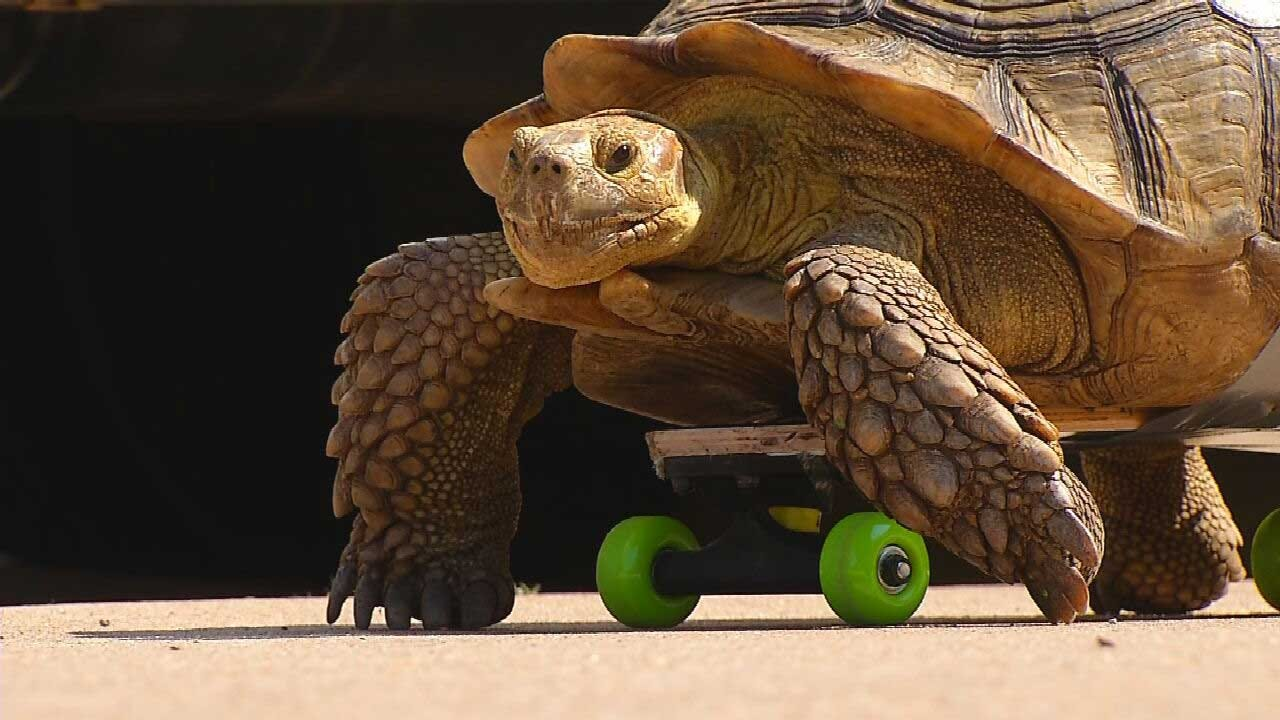 Red Dirt Diaries: OSU Veterinarians Get Creative To Help Injured Tortoise