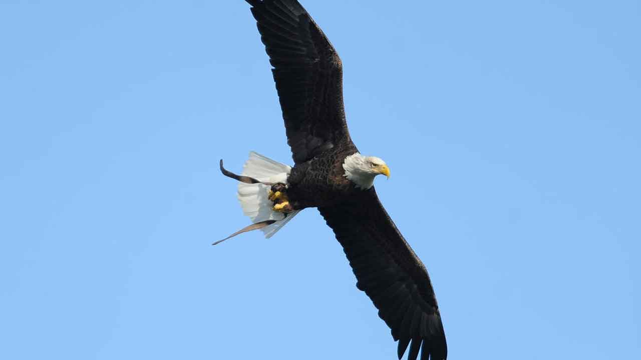 Bald Eagle Wins Duel With $950 Drone, Sending It To The Bottom Of Lake Michigan