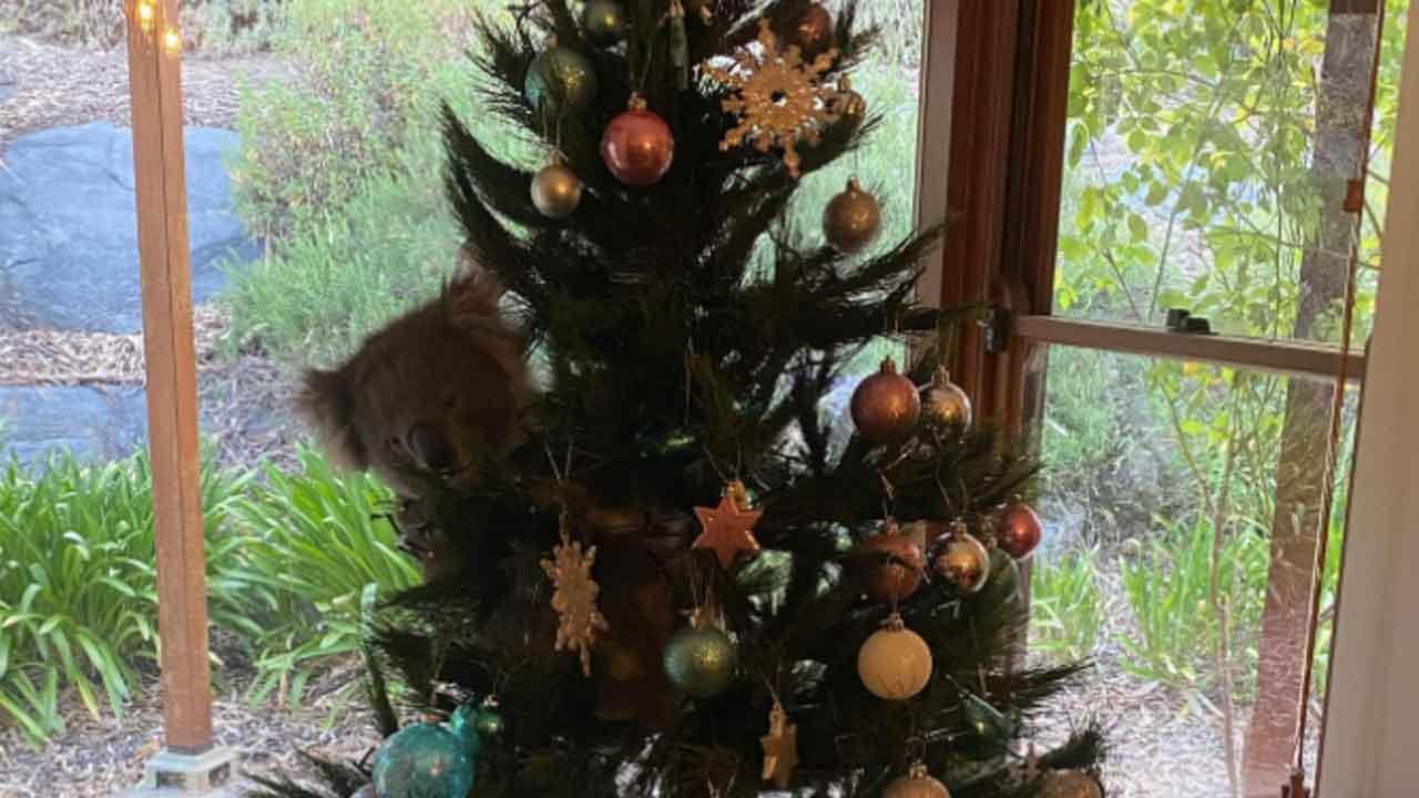 Koala Wanders Into Australian Family's Home & Climbs Their Christmas Tree