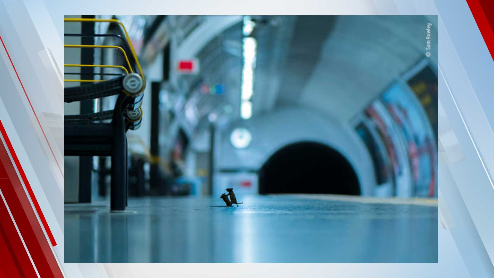 Image Of Mice Fighting Over Crumbs On Subway Platform Wins Top Wildlife Photography Award