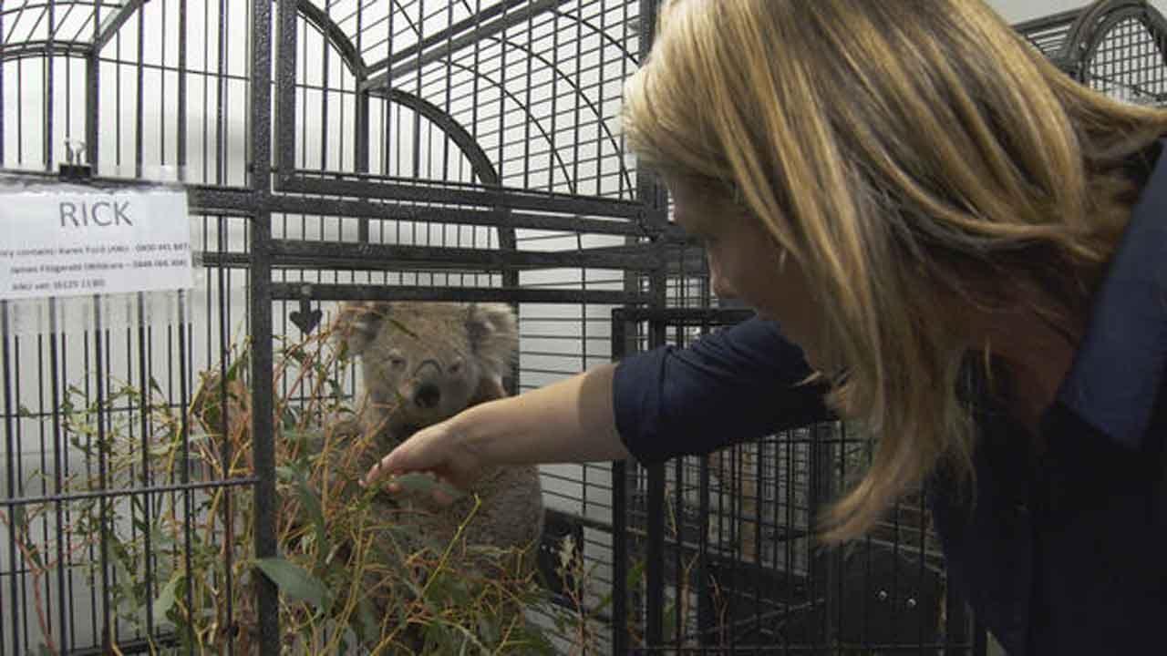 Meet The 3 Koalas Named After Fallen American Firefighters