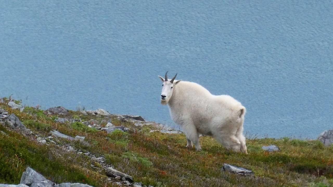Authorities: Virginia Farmer Holds Goat Thief At Gunpoint