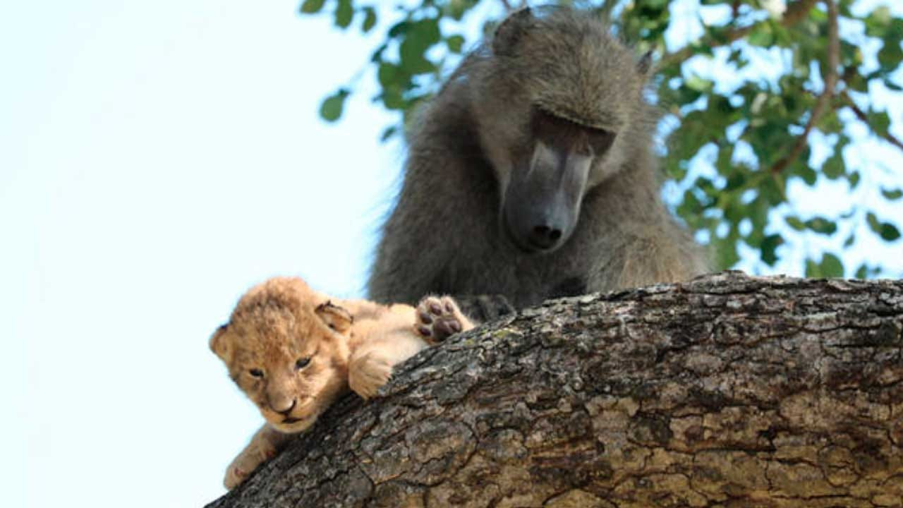 Baboon Seen Carrying Little Lion Cub In South Africa: 'Nature Is Cruel'