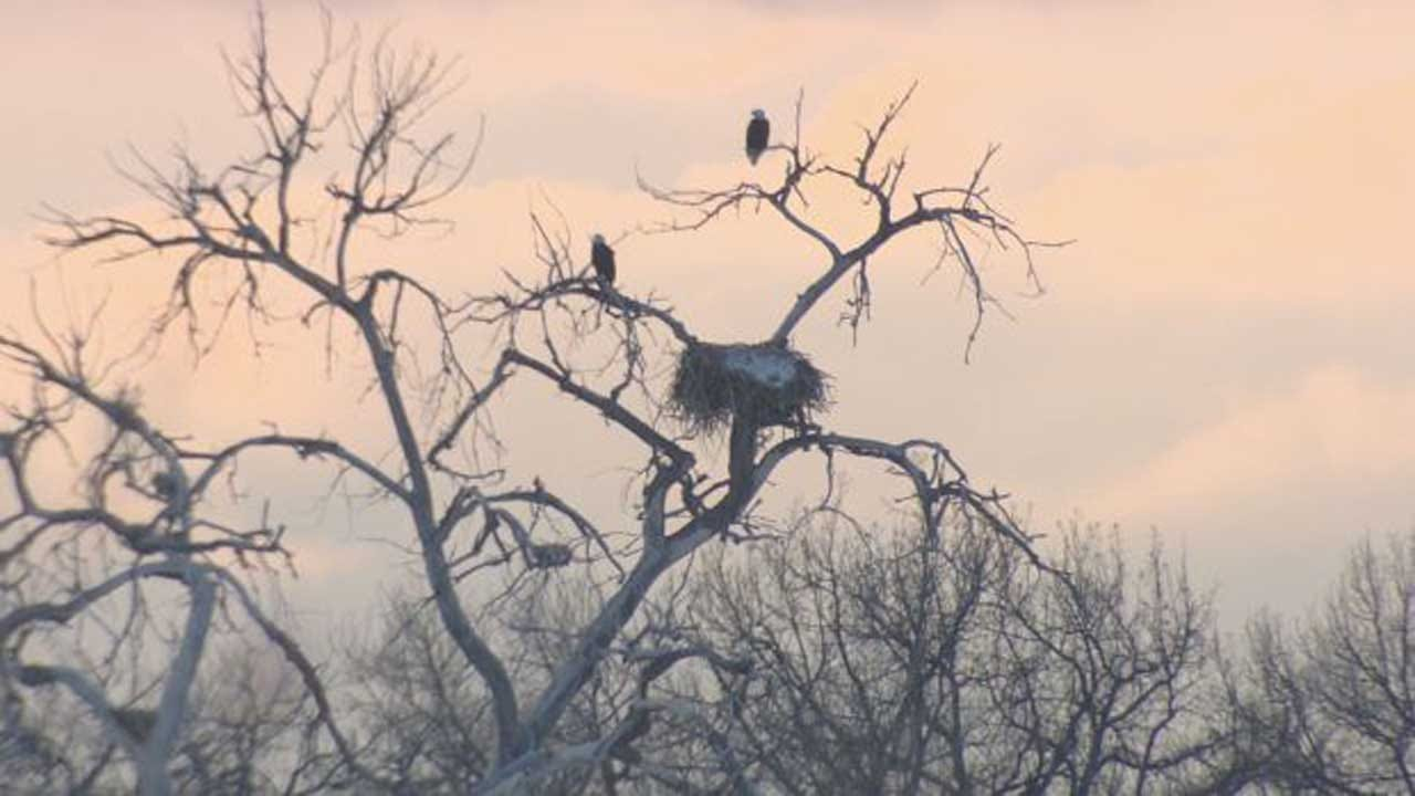 100+ Bald Eagles Counted At Barr Lake: 'Just So Majestic'
