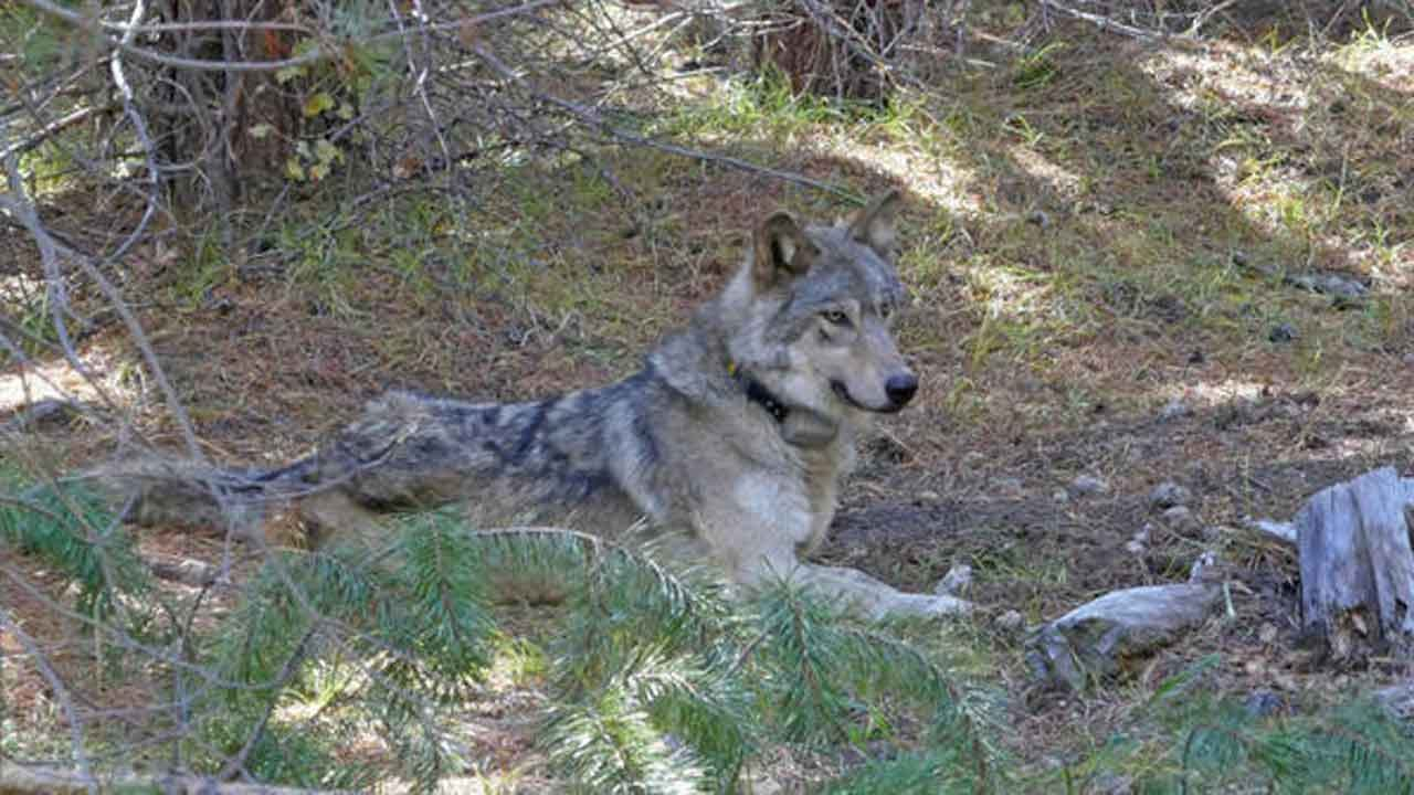 Endangered Gray Wolf That Wandered 8,712 Miles Found Dead In California