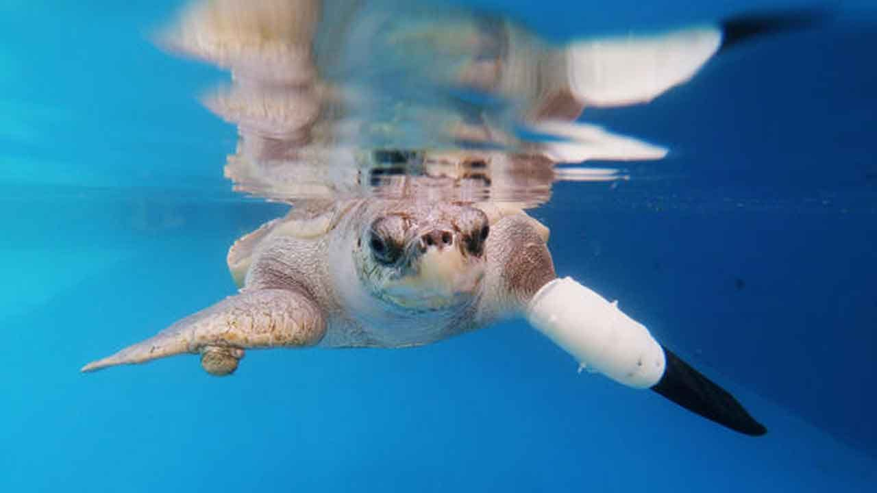 Sea Turtle Swims Again With Help Of Prosthetic Flipper