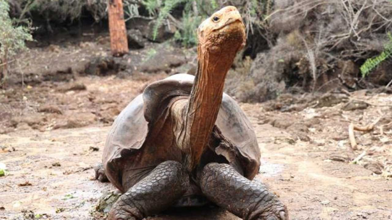Diego The Giant Tortoise Is Retiring After His High Sex Drive Helped Save His Entire Species
