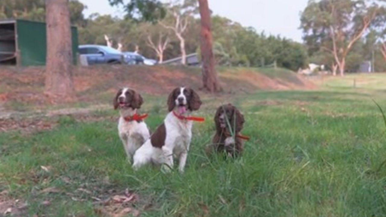 Meet The Team Of Dogs Rescuing Koalas Injured In Australia's Fires