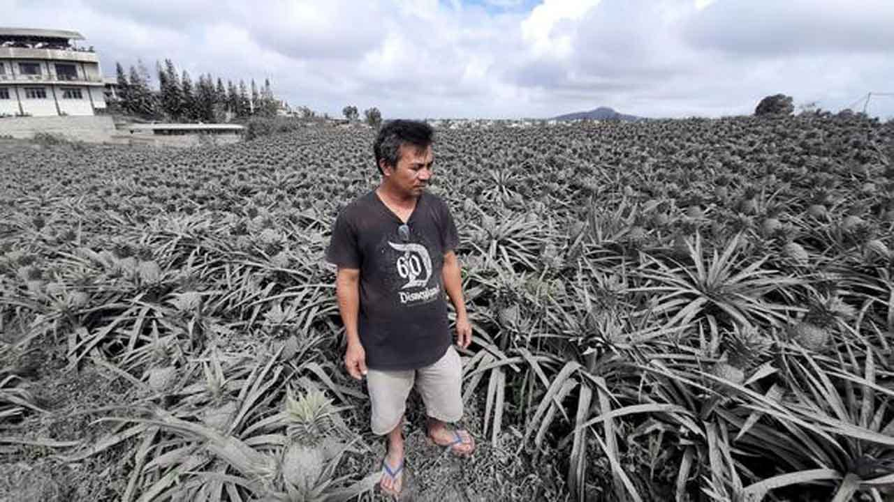 Pineapples Have Turned Gray In The Philippines From Ash Spewed By Taal Volcano