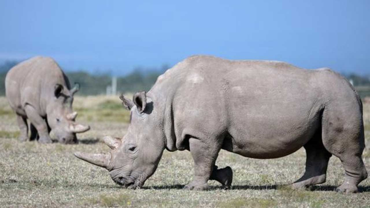 Newly-Created Northern White Rhino Embryo Could Save Species From Brink Of Extinction