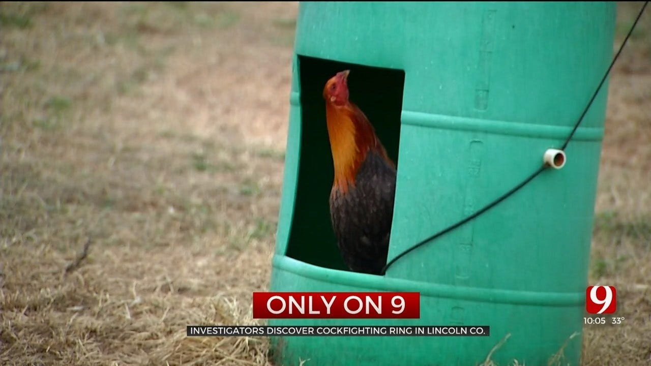Only On 9: Cockfighting Ring Discovered Near Harrah