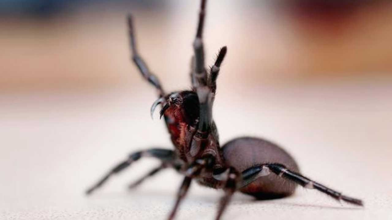 Australians Warned Of Possible Deadly Spider 'Bonanza'