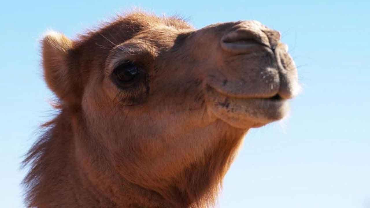 Up To 10,000 Camels Will Be Shot, Killed During Major Australian Drought