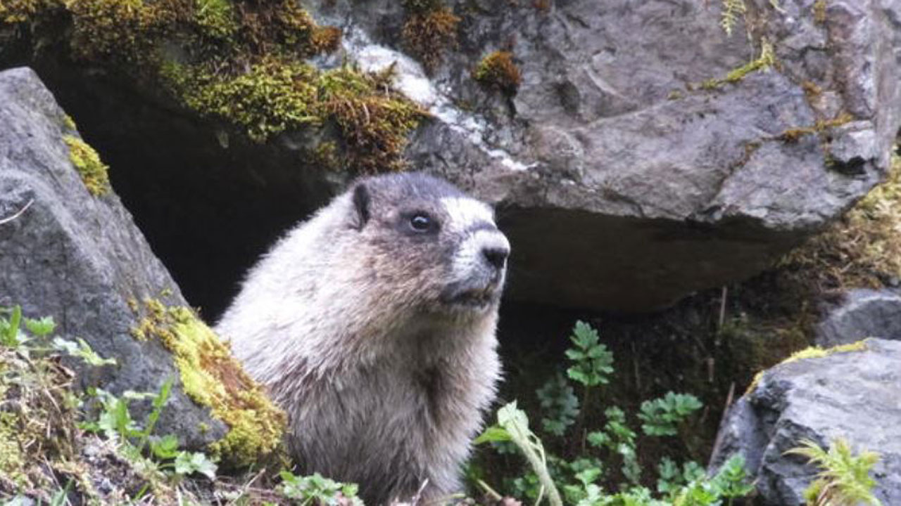 Mongolian Teen Dies Of Bubonic Plague Caught From Infected Marmot