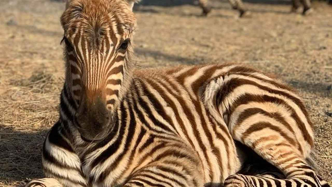 Fireworks Believed To Have Led To Young Zebra's Death At Zoo