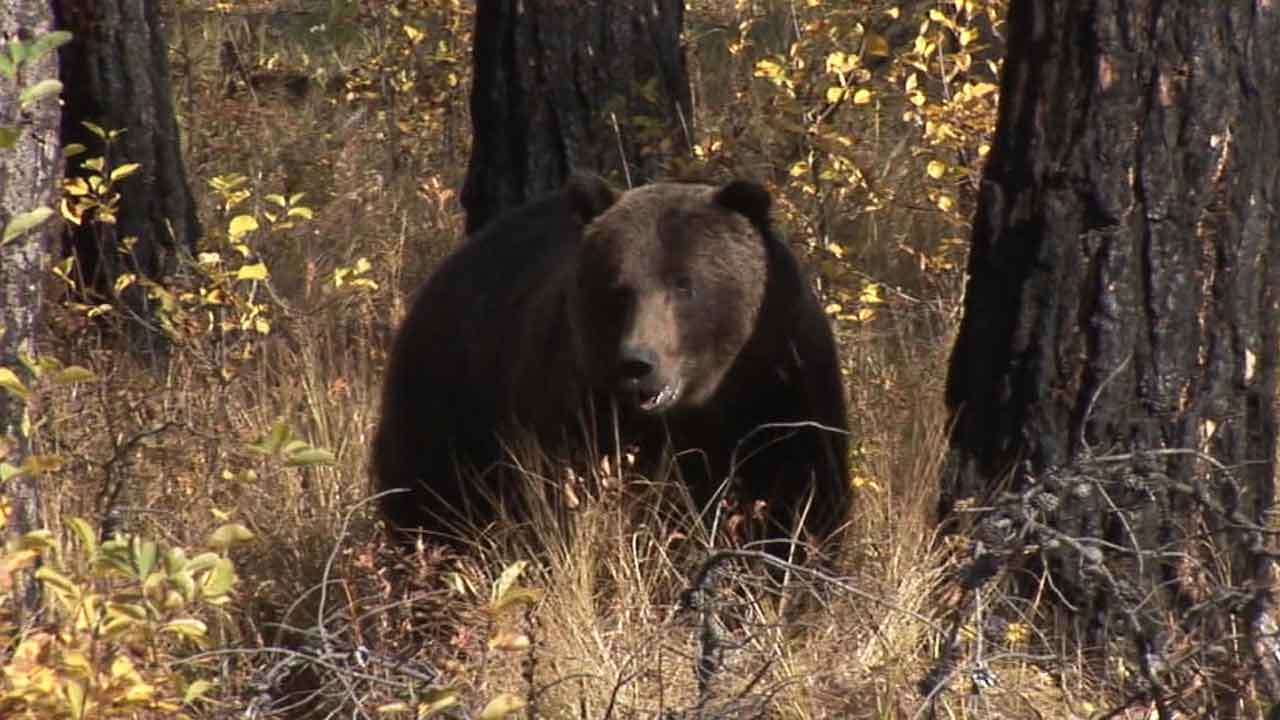Grizzly Bear Killed After 'Surprise' Attack On Father & Son In Montana