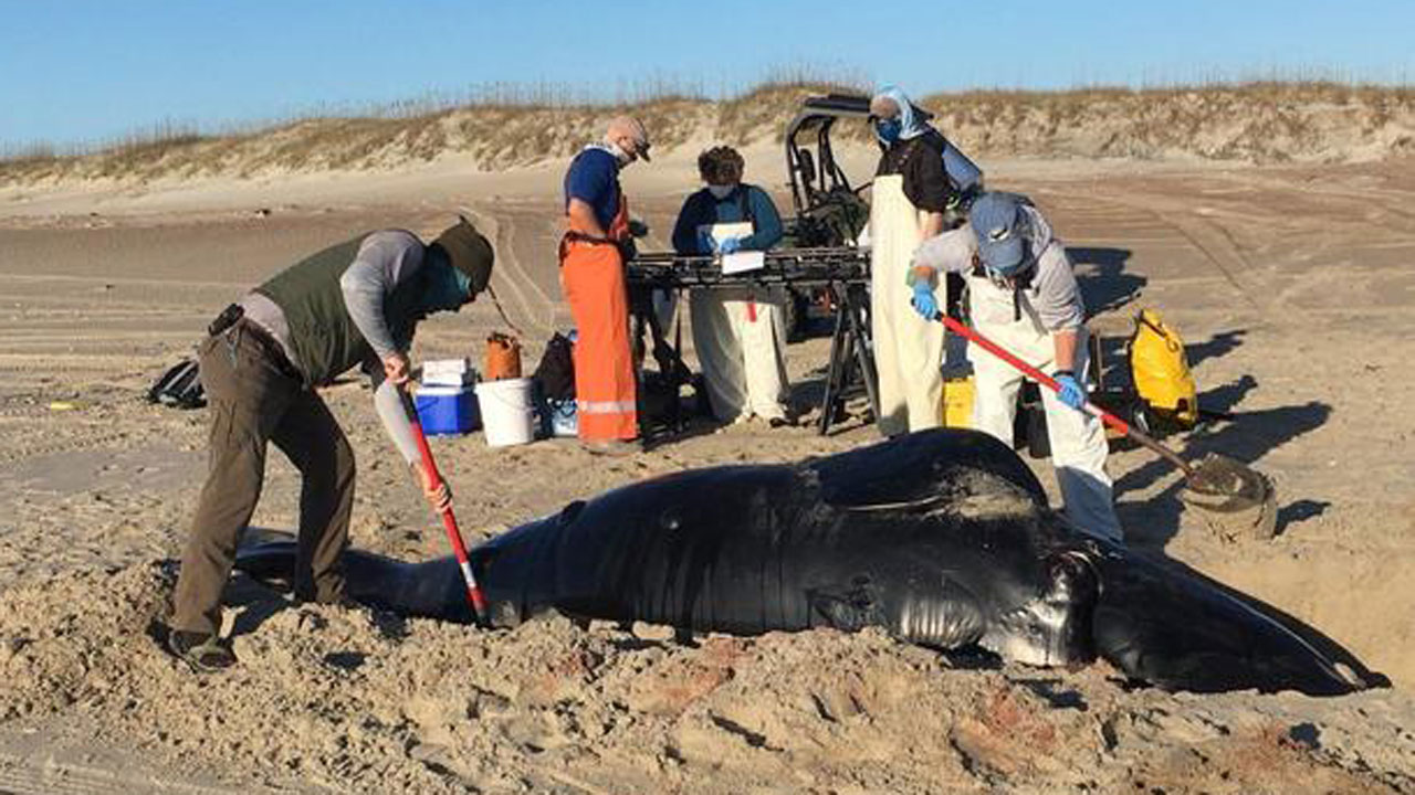 Endangered Whale Washes Ashore Dead In North Carolina