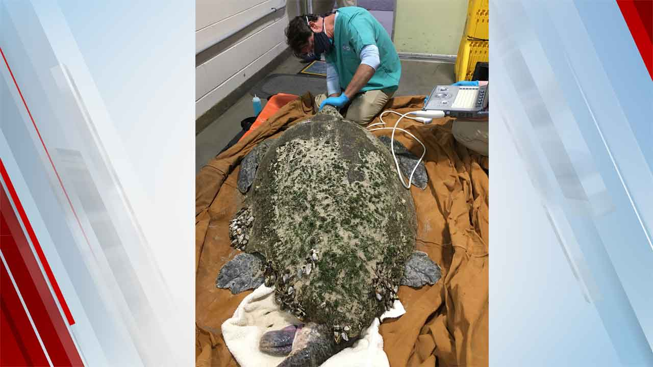 'Extremely Rare' 350-Pound Loggerhead Among 150 Cold-Stunned Turtles Rescued From Cape Cod Beach