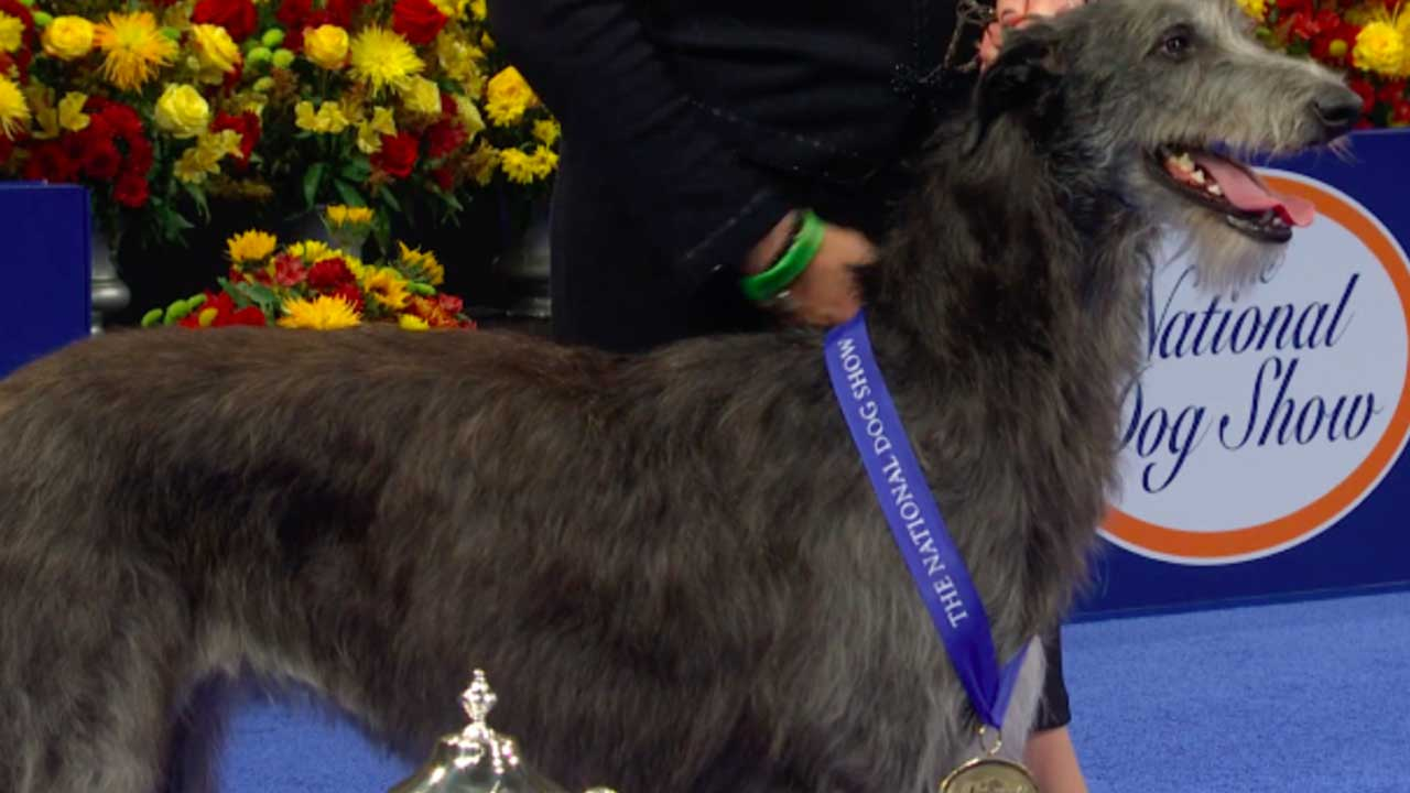 'Claire' The Scottish Deerhound Wins Best In Show At 2020 National Dog Show