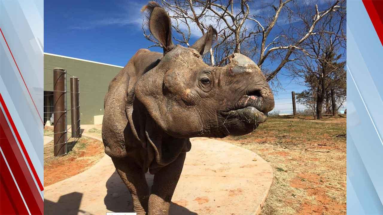 OKC Zoo Mourns Death Of Male Indian Rhino, Arun