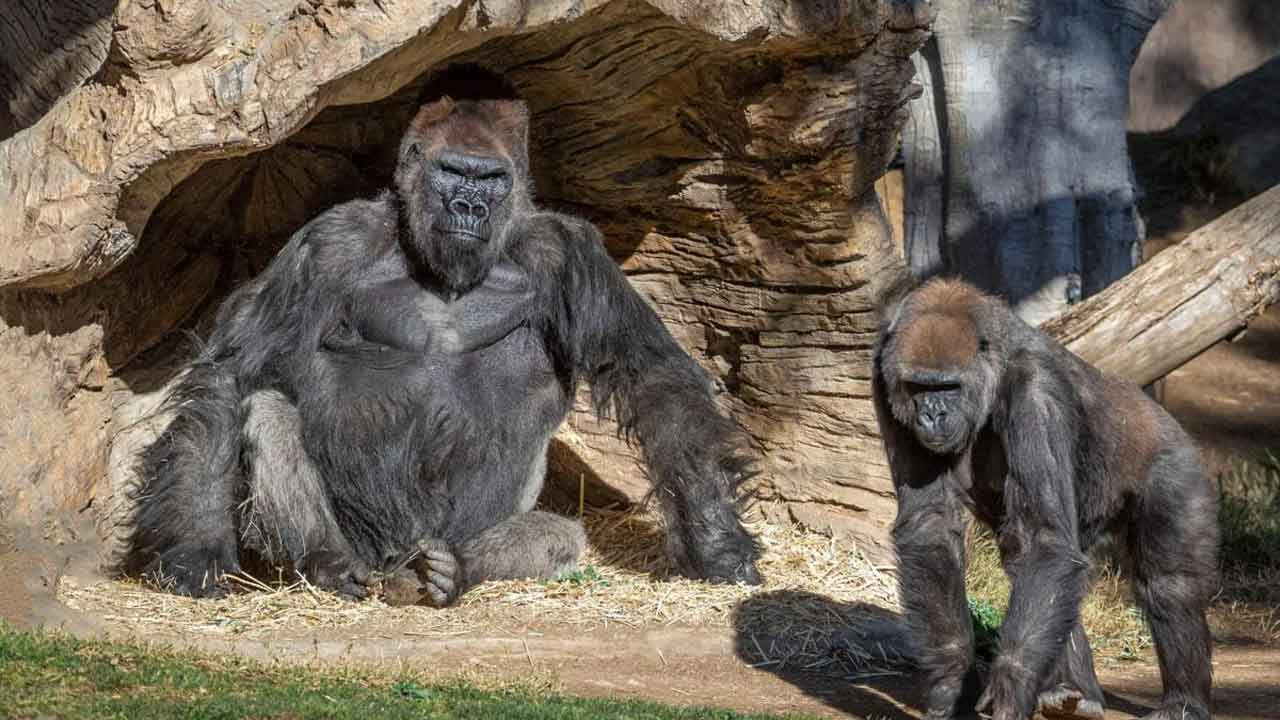 2 Gorillas At San Diego Zoo Test Positive For COVID-19