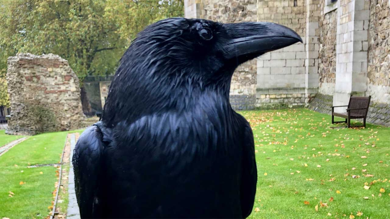 Nevermore? Tower Of London's 'Queen' Raven Goes Missing And Is Feared Dead