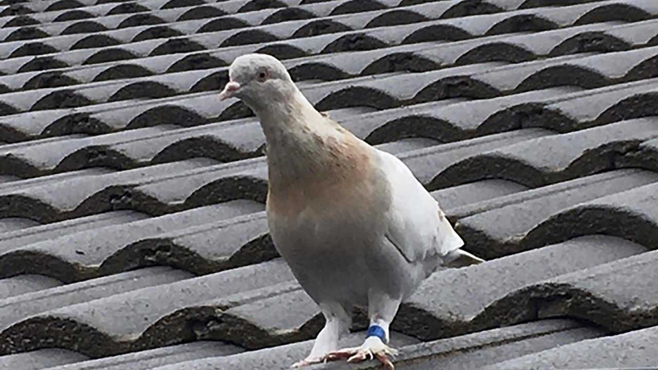 Pigeon Thought To Have Crossed Pacific From Oregon Escapes Death In Australia